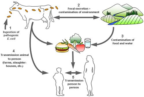 an analysis of the spread of escherichia coli Escherichia coli, often referred to as e coli, are common  strains of e coli exist  and are essential components of a  risk of spreading infection  summary e  coli are bacteria found naturally in the environment sources include humans and .